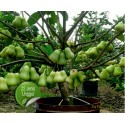 Graines de Susung Kalabaw ou Carabao tits (Uvaria Rufa)