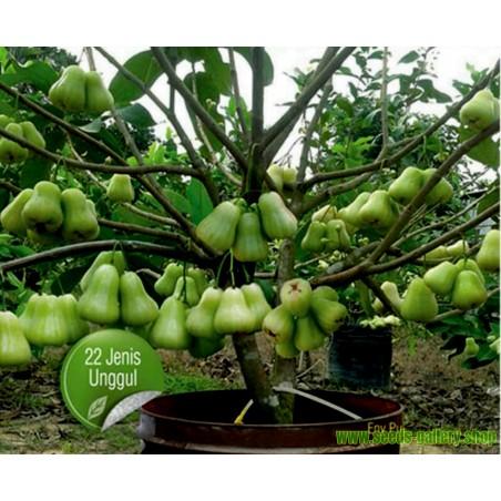 Vodena - Javanska Jabuka Seme