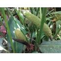 Karonda - Bengal Currant Seeds (Carissa carandas)