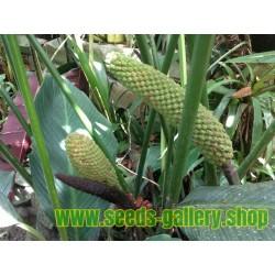Σπόροι Monstera deliciosa - εξωτικά φρούτα