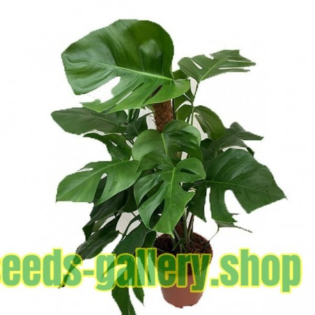 Swiss Cheese Plant Seeds (Monstera deliciosa)