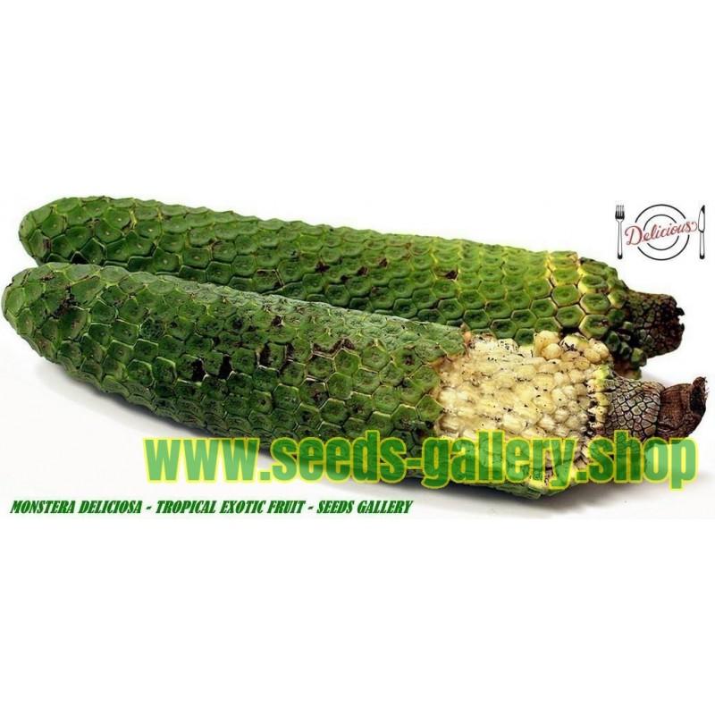 Köstliche Fensterblatt Samen (Monstera deliciosa)