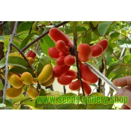 Susung Kalabaw oder Carabao tits Samen (Uvaria rufa)