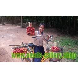 Susung Kalabaw eller Carabao Tits Fröer (Uvaria Rufa)