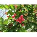Graines Pomme de Lait Caïmite Emeraude (Chrysophyllum cainito)