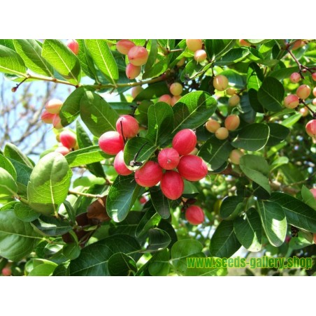 Erdmandel Knollen - Samen Schmackhaft (Cyperus esculentus)