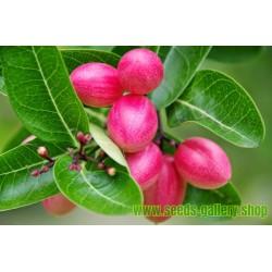 Sementes Fruta Exótica Karanda (Carissa Carandas)