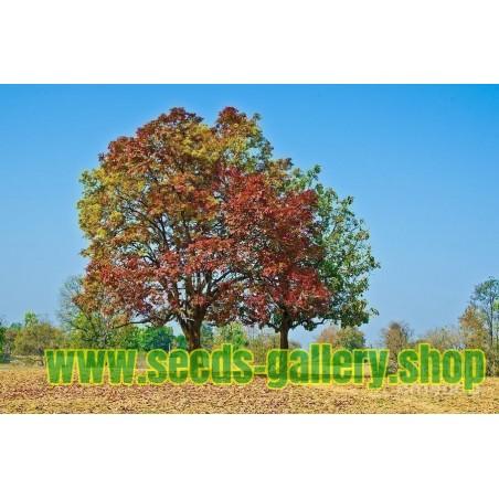 Sementes de Sino Indiano - Árvore Indiana Kusum