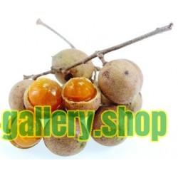 Semi di Ceylon Rovere (Schleichera oleosa)
