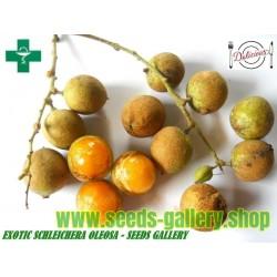 Semillas de Ceilán Roble (Schleichera oleosa)