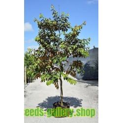 Devils Apple Fruit of Sodom Seeds (Solanum linnaeanum)