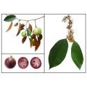 Djävuls Apple Frukt av Sodom Fröer (Solanum Linnaeanum)