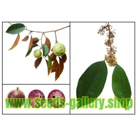 Stjärnäpple Frö (Chrysophyllum Cainito)