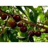 Wasabi Καυτερό Αγριοράπανο σπόροι (Wasabia japonica)