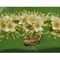 King of medicinal herbs - Haritaki - Karitaki Seeds