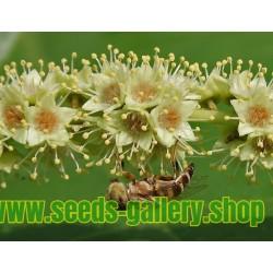 Konungen av medicinalväxter Fröer Terminalia chebula