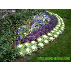 Flowering Kale Seeds Brassica Oleracea