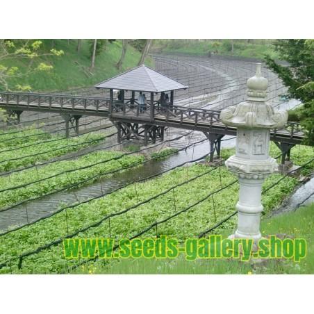 Semillas de Wasabi (Wasabia japonica)