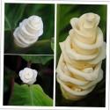 Prayer Plant, Ice Cream Flower Seeds (Calathea warscewiczii)