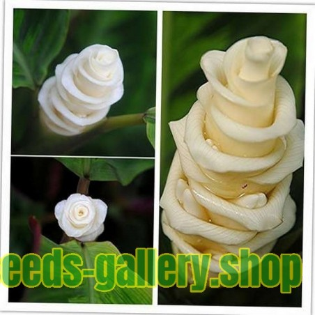 Prayer Plant, Ice Cream Flower Seeds (Calathea warscewiczii)
