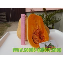 Mini Butternut – Kruska Bundeva Seme