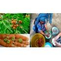Wingleaf Soapberry Seeds (Sapindus saponaria)