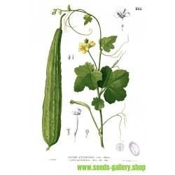 Vinklade Luffa fröer (luffa acutangula)