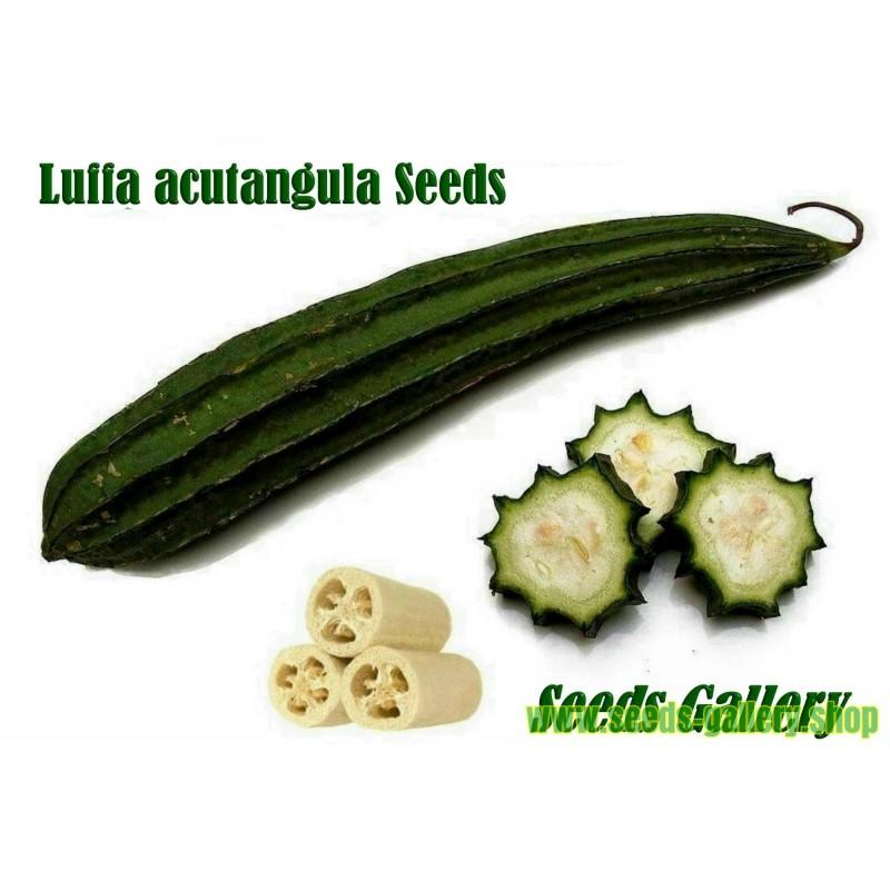 Angled luffa, Ridged luffa Seeds (Luffa acutangula)
