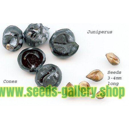 Juniper Berry Seeds (Juniperus communis)