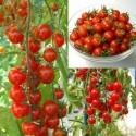 Semillas de tomate Sweet Princess