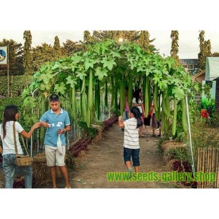 Zierkohl Samen Brassica oleracea
