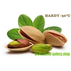 Pistachio Seeds (Pistacia vera) (Antep Pistachio)