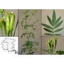 Σπόροι μίνι ακτινίδιο -34C (Actinidia arguta)