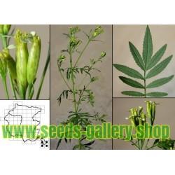Sementes de Menta peruana - Huacatay (Tagetes minuta)