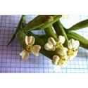 Semillas de Tagetes minuta - planta medicinal