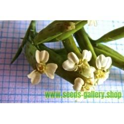 Bolivian Coriander - Papalo Seeds (Porophyllum ruderale)