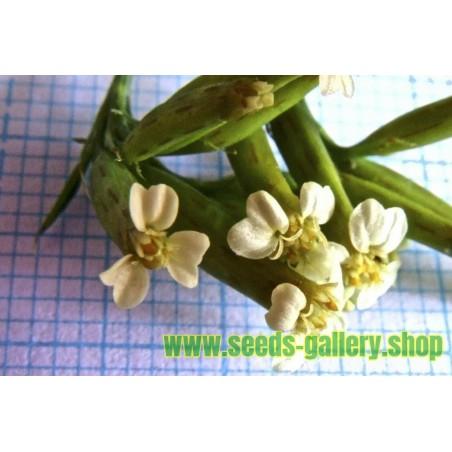 Sementes De Actinidia Arguta - Baby Kiwi Resistentes geada -34C
