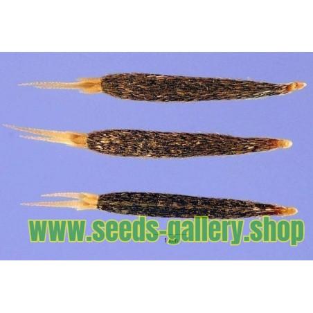 Blackcurrant Seeds (Ribes nigrum)