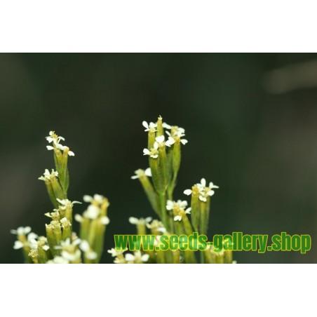 Semillas de Higuera (Ficus carica)