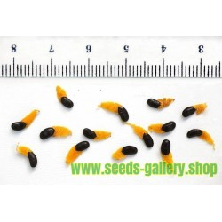 Acacia mangium Samen