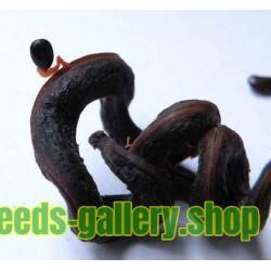 Sementes de Acácia Australiana ( Acacia mangium)