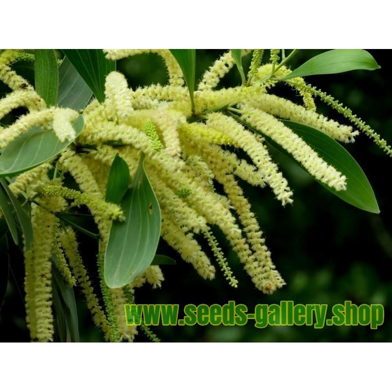 Borojo Seme – Egzoticno Voce (Alibertia patinoi)