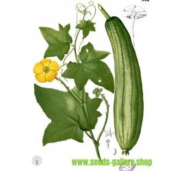 Sementes de Luffa - Esponjaety (Luffa aegyptiaca)