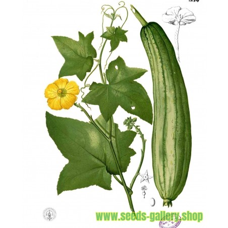 Echte Schwammgurke Samen (Luffa aegyptiaca)