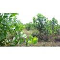 Forest Mangrove Seeds (Acacia mangium)