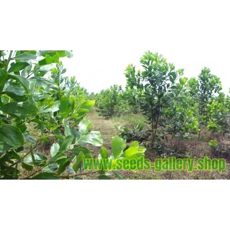 Acacia mangium Seme