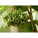 BIQUINHO - CHUPETINHO Red or Yellow Hot Pepper Seeds