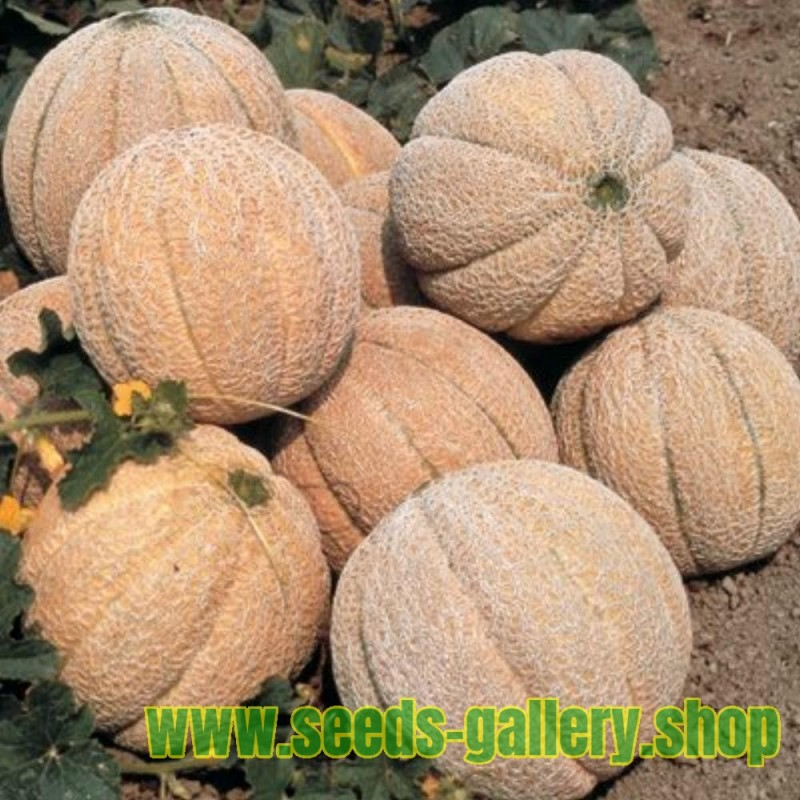 Superstar Melon Seeds