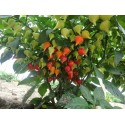 Hot Chilli Pepper Seeds CALORO (Capsicum annuum)