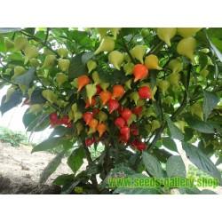 Σπόροι τσίλι - πιπέρι CALORO
